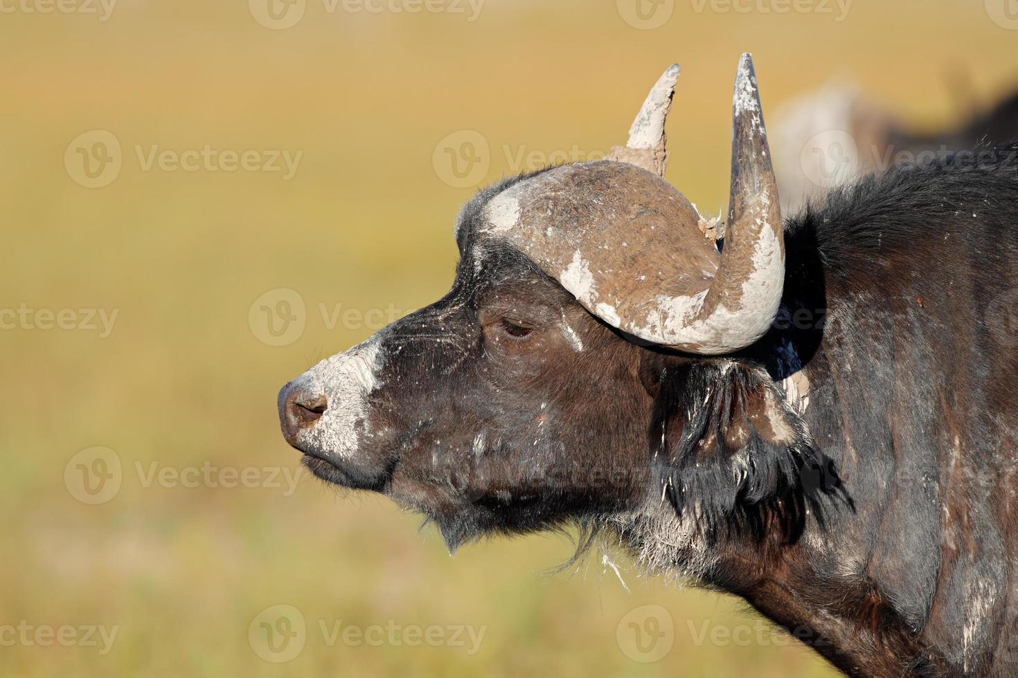 African buffalo photo