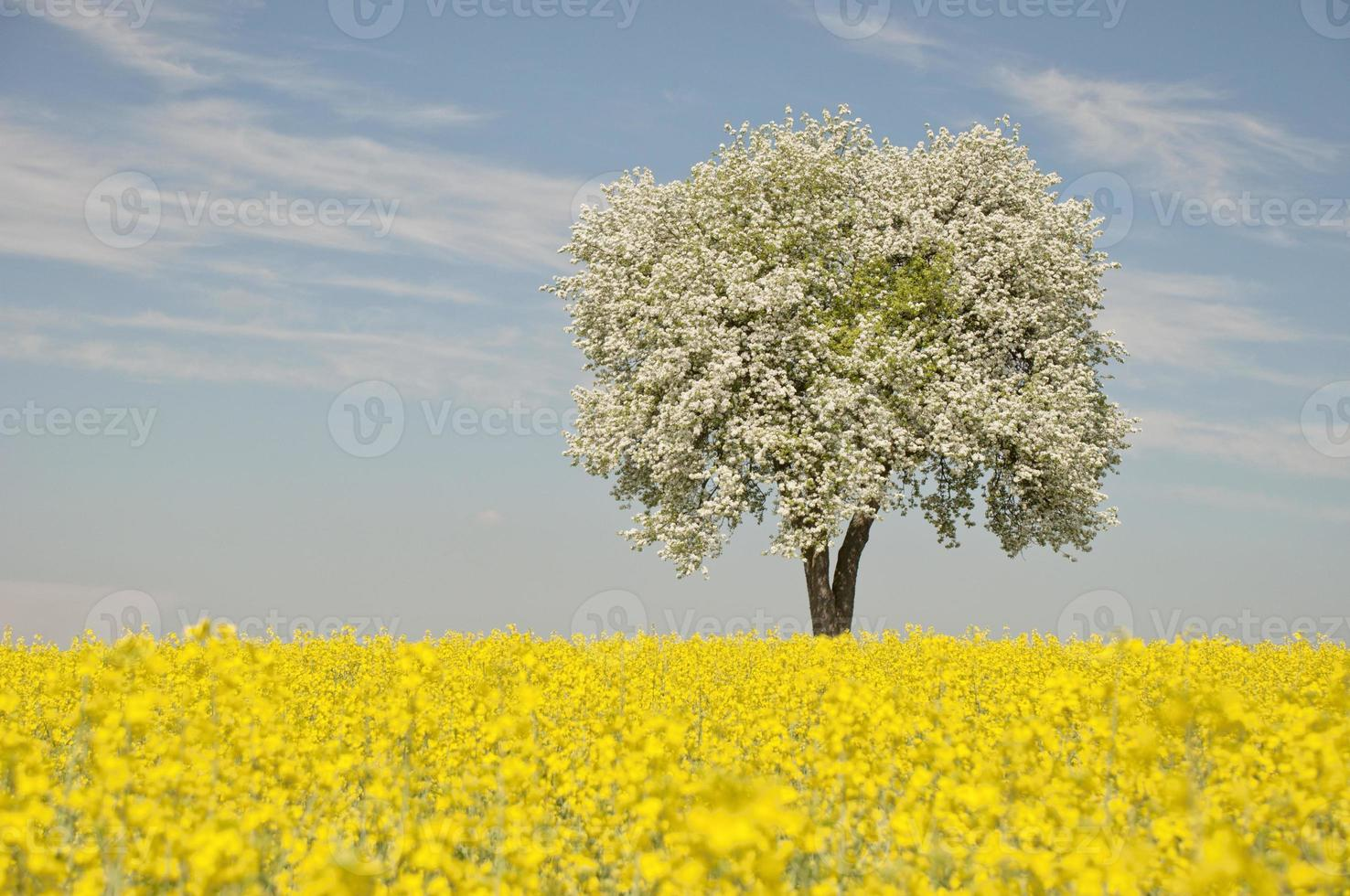 campo de colza con árbol floreciente foto