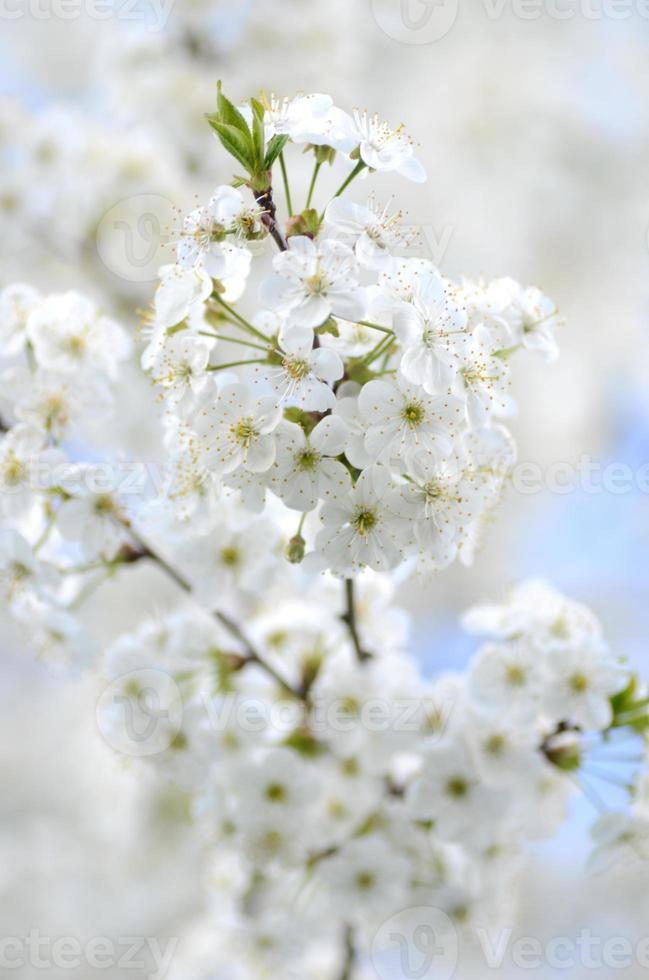 hermosas flores delicadas del cerezo foto
