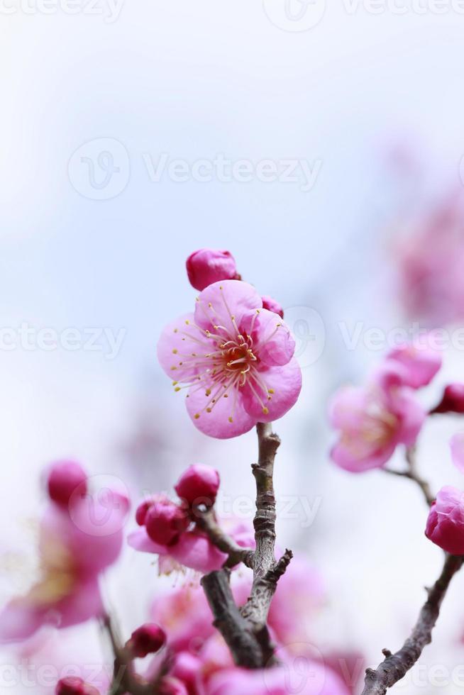 Japanese plum-blossom photo