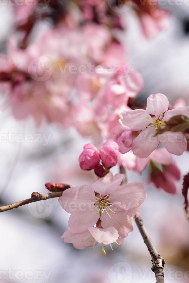 cereza sakura en flor foto