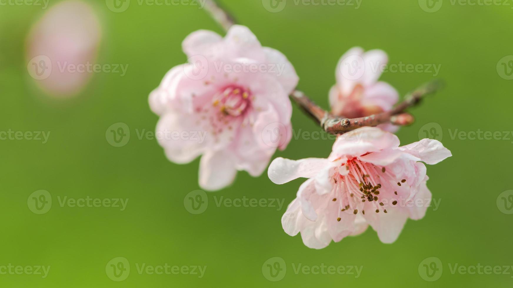 la flor del ciruelo en primavera foto