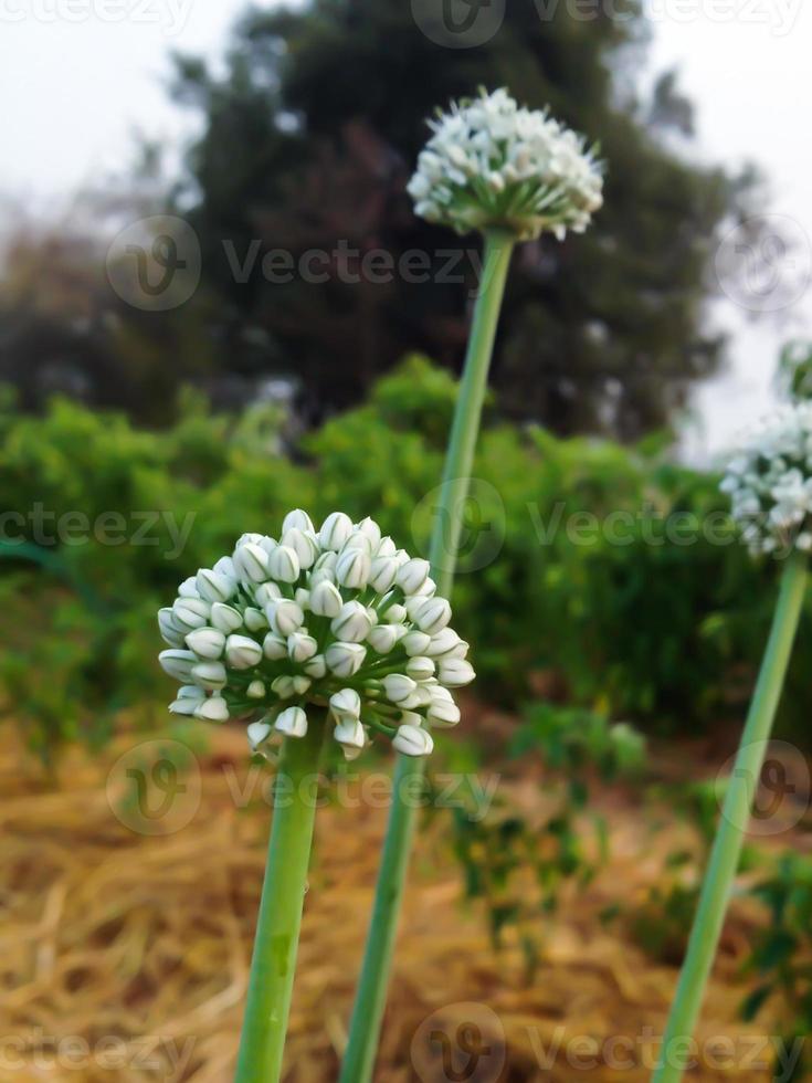 cebolletas de ajo - allium tuberosum 'newbelt' foto