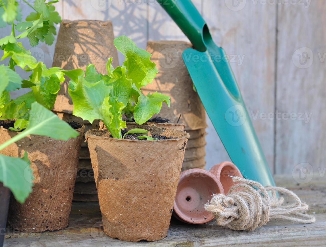 seedling lettuce photo