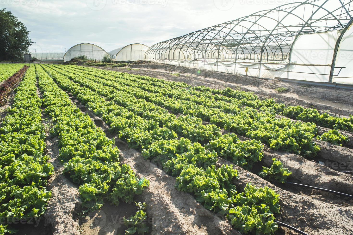 campo de plantación de lechuga foto
