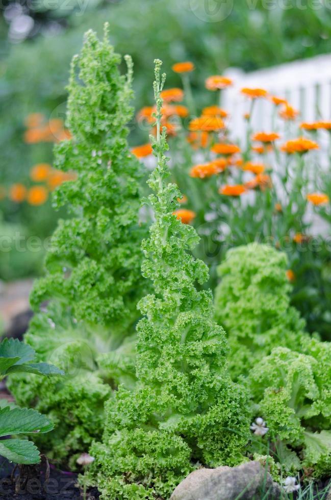 Salat im Garten (Lollo bionda) photo