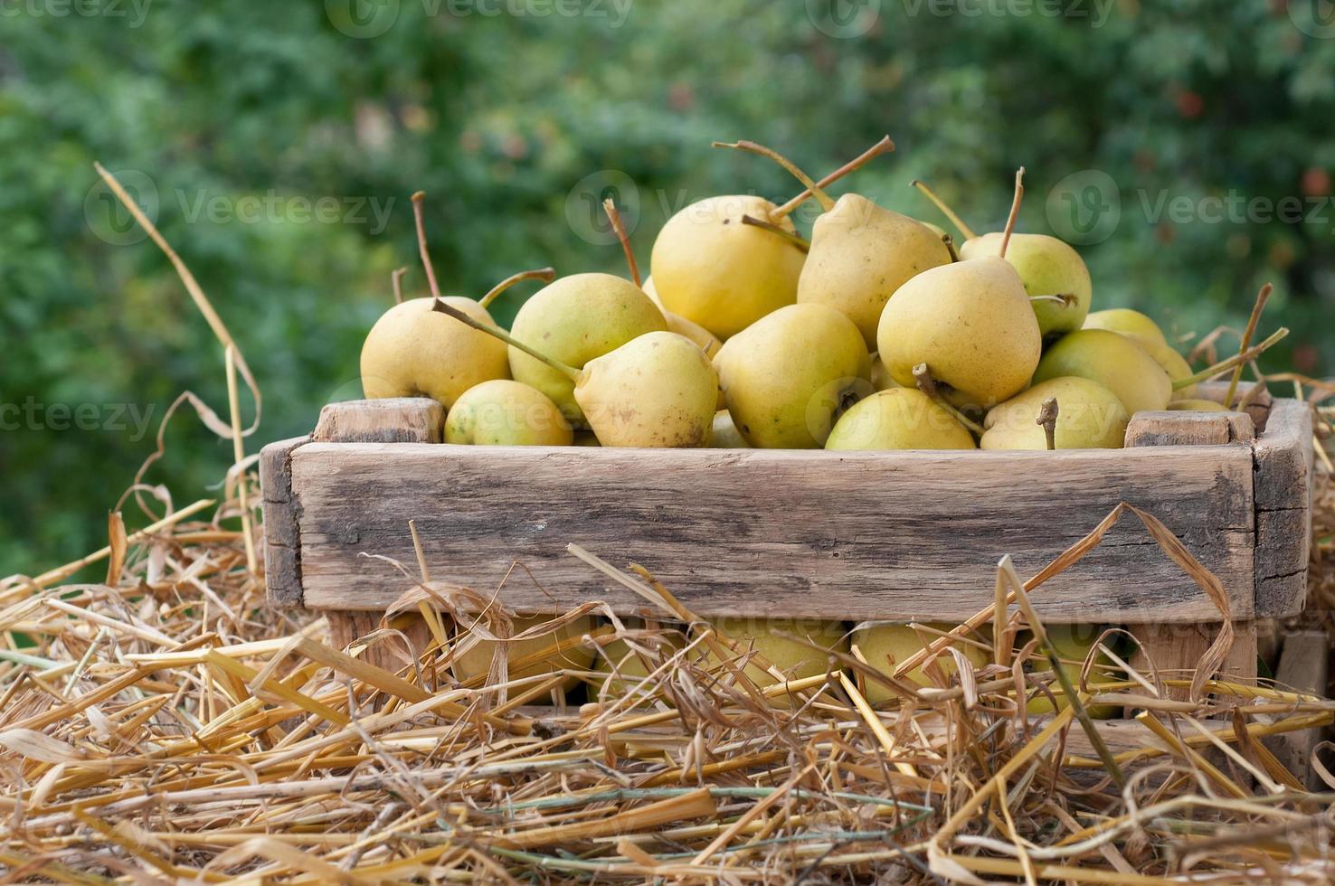 ripe pears photo