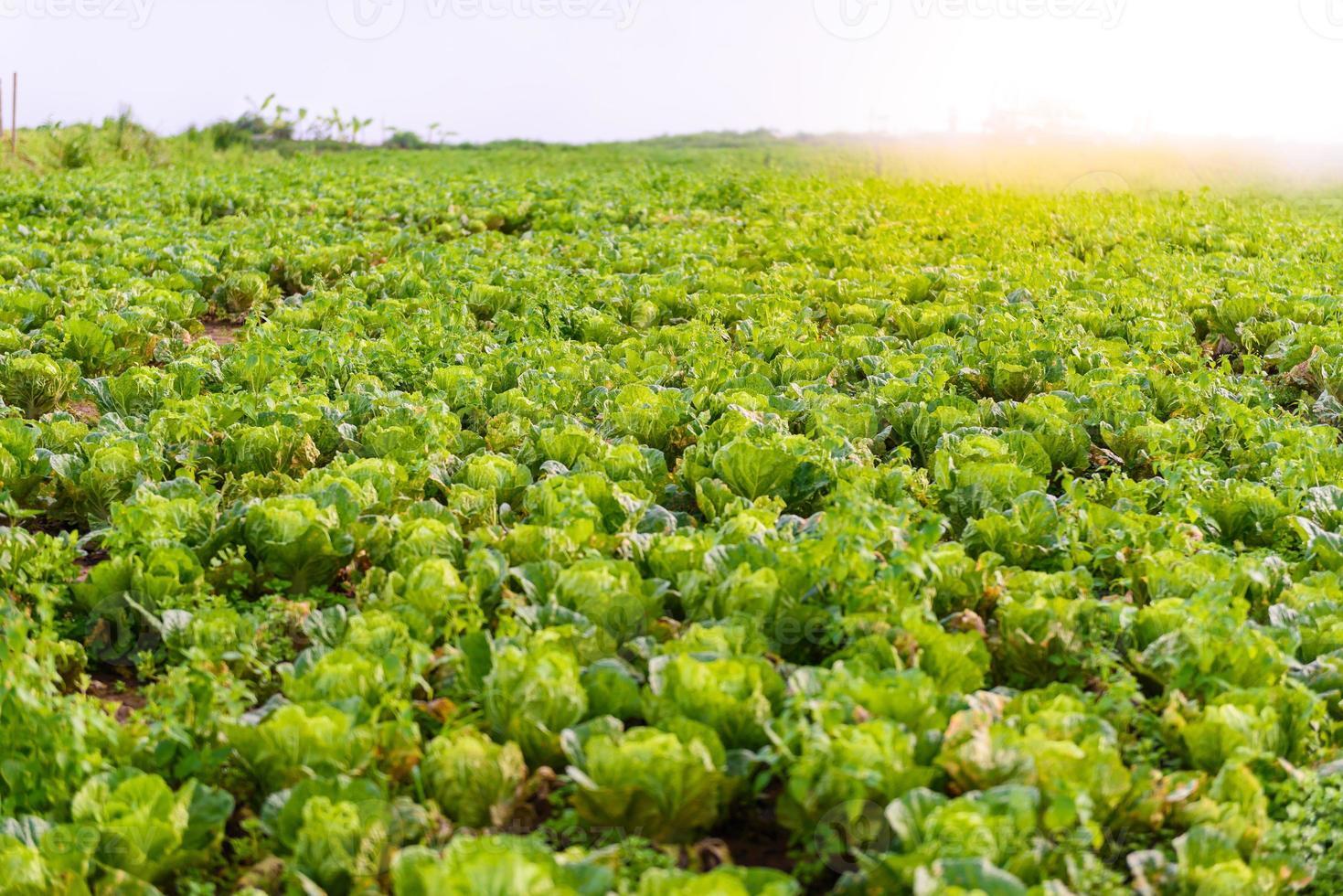 Chinese lettuce at Phu tubberk photo