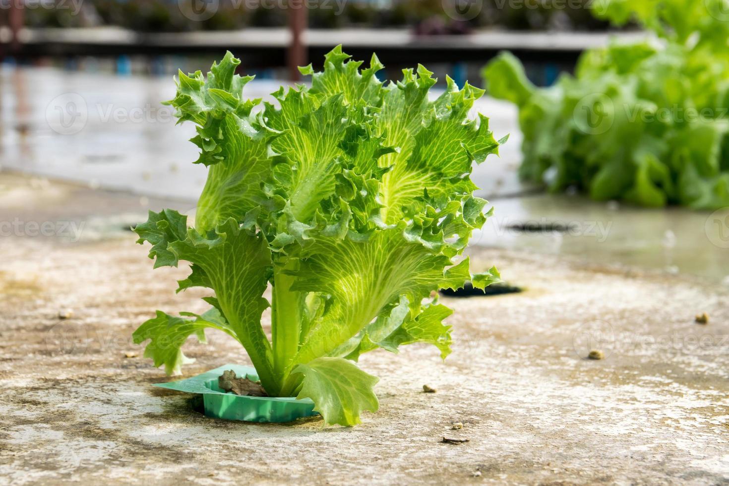 cultivo hidropónico vegetal verde en granja foto