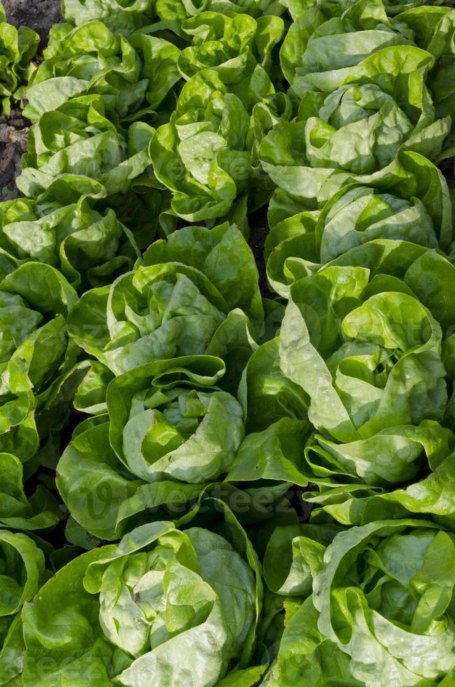 Anbau von Biosalat in Nordbulgarien im Sommer foto