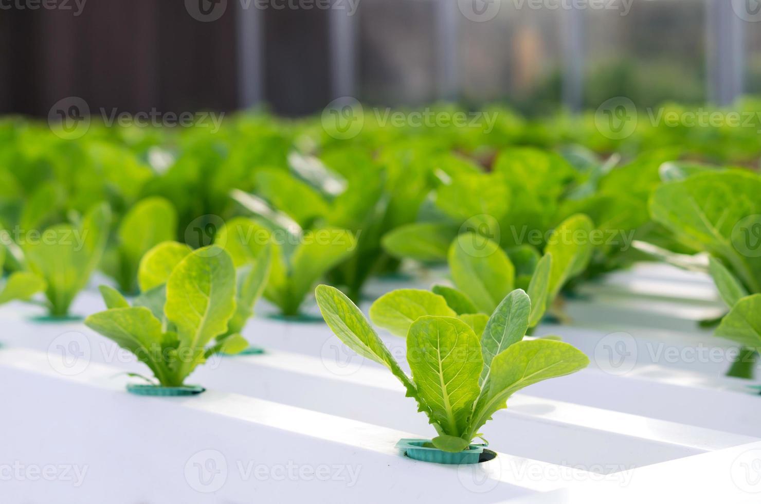 vegetal hidropónico en granja foto