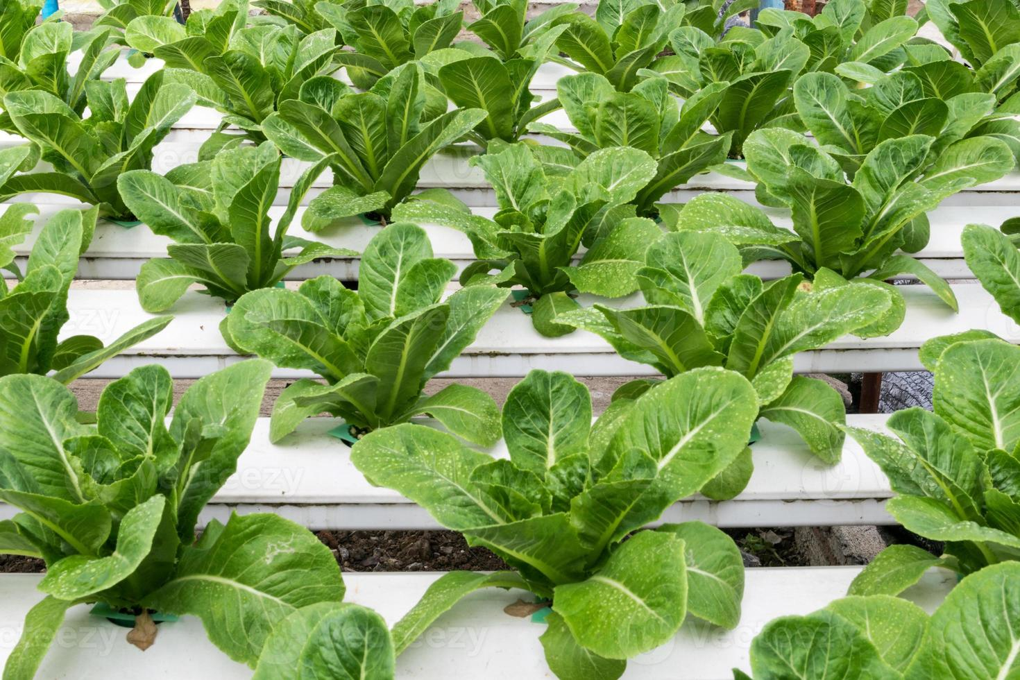 Hydroponic vegetables growing in greenhouse photo