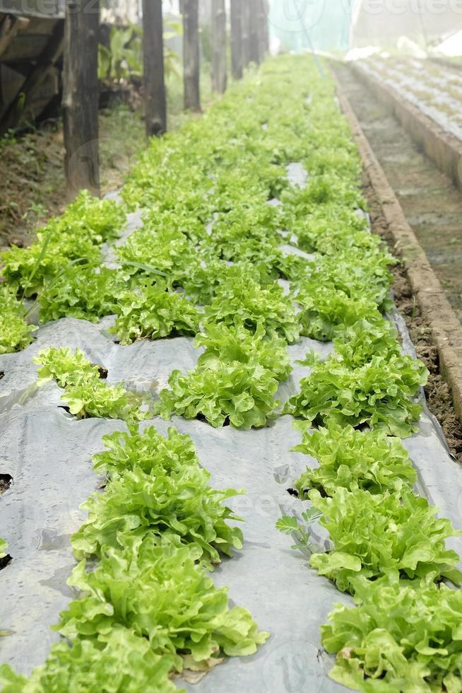organic and fresh vegetable garden photo