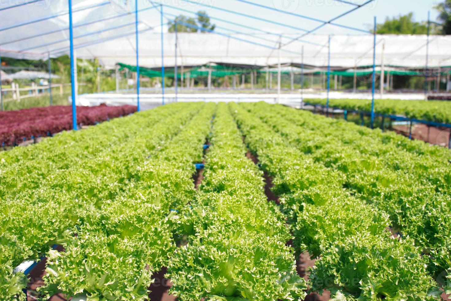 Hydroponic vegetable farm photo