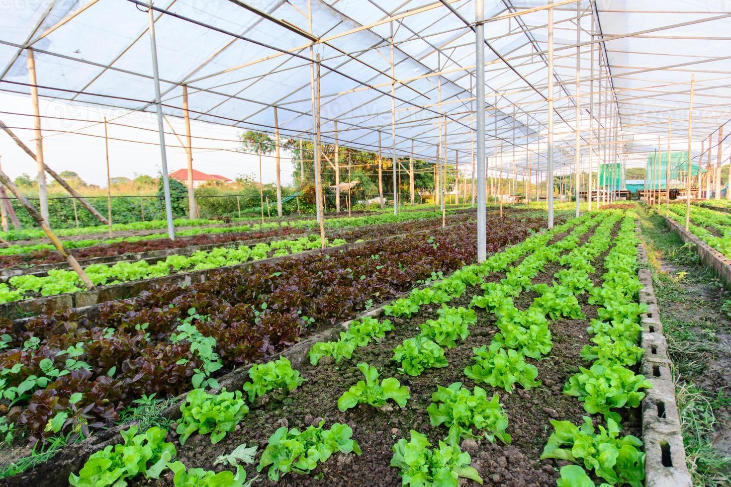 hydroponic farm in north of thailand photo
