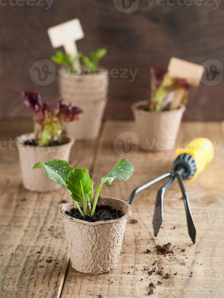 Vegetable seedlings photo