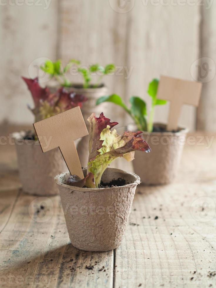 plántulas de vegetales foto