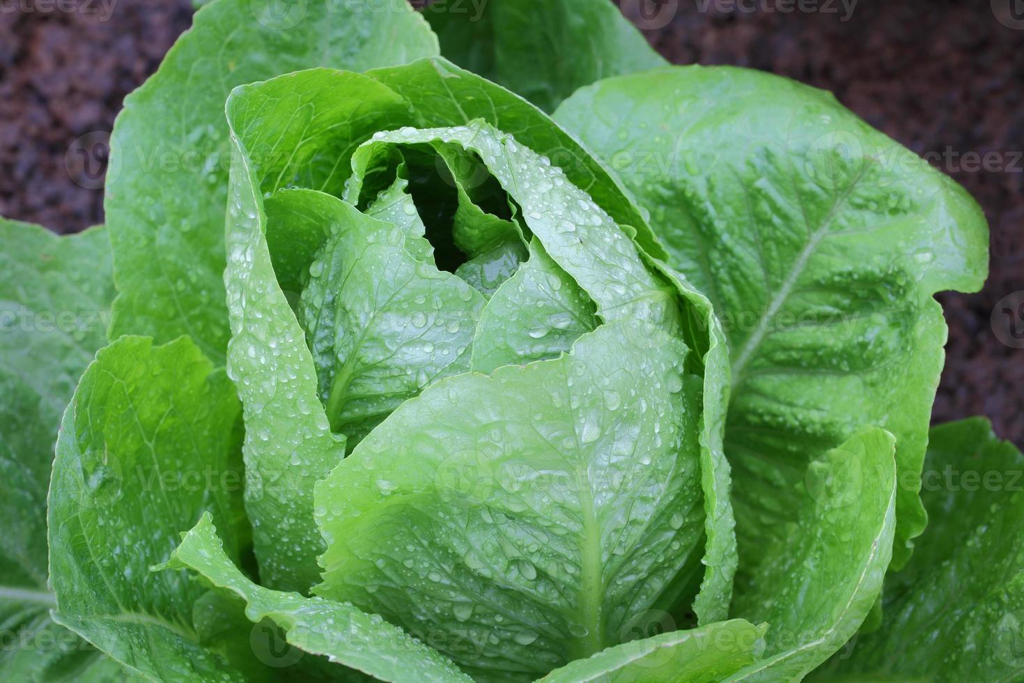 Organic Lettuce photo