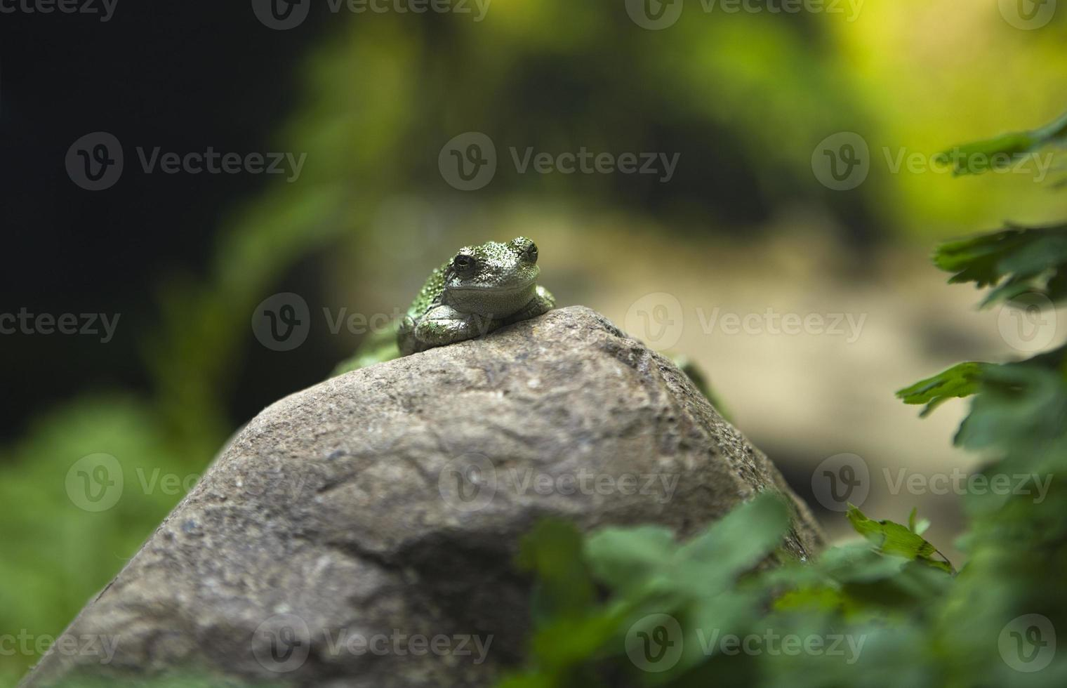 Green toad on rock photo
