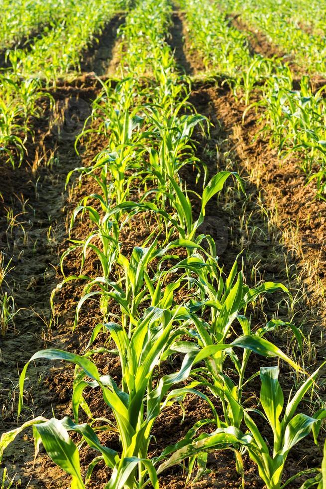 tierras de cultivo de maíz foto
