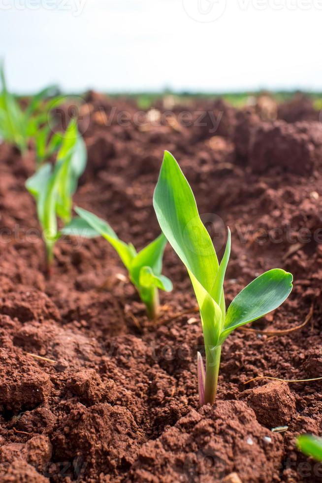 plántulas de maíz jóvenes. foto