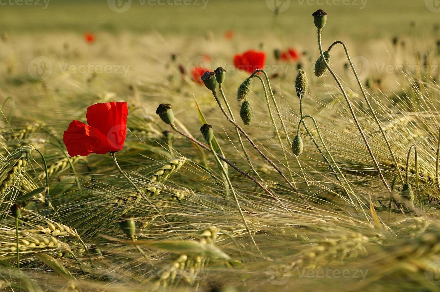 poppies and corn photo