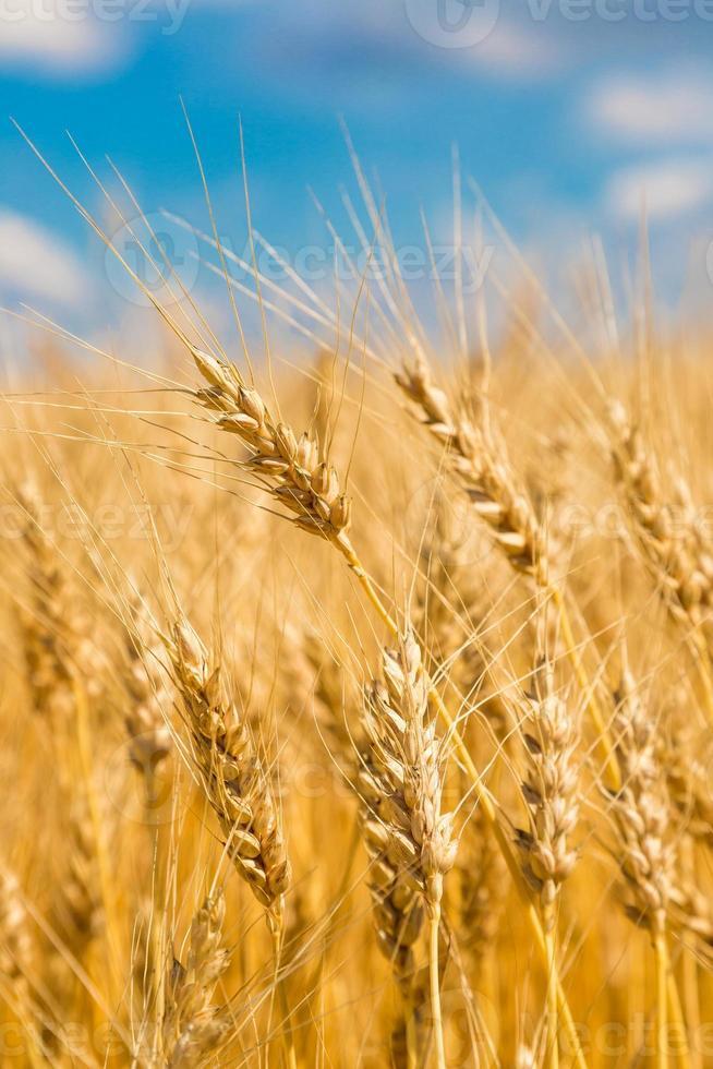 Wheat field, fresh crop of wheat photo