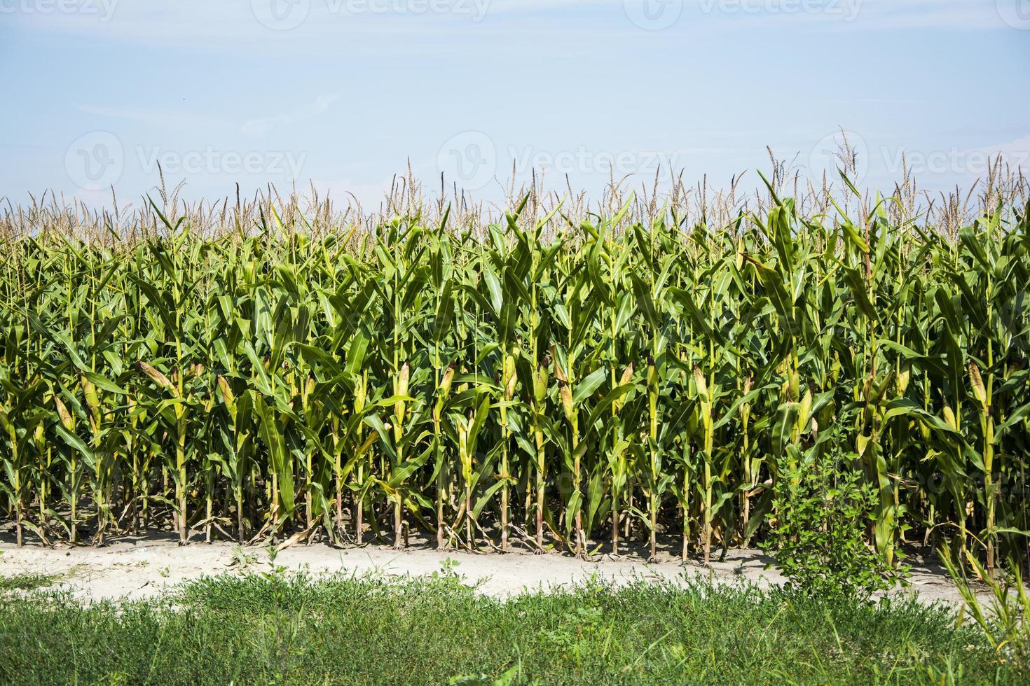 Corn field before harvest photo