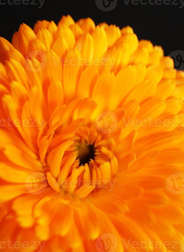 flor de caléndula naranja foto