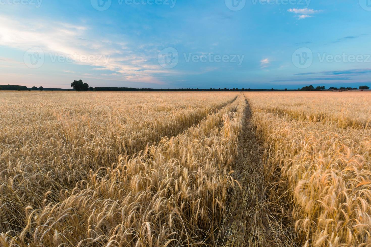 Sunset over cereal field in summer photo
