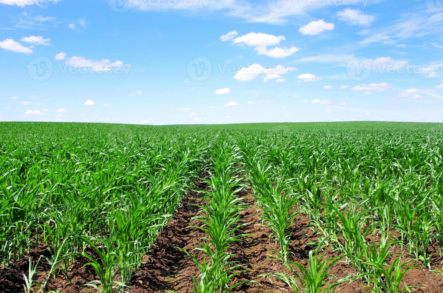 cornfield at south of Portugal photo
