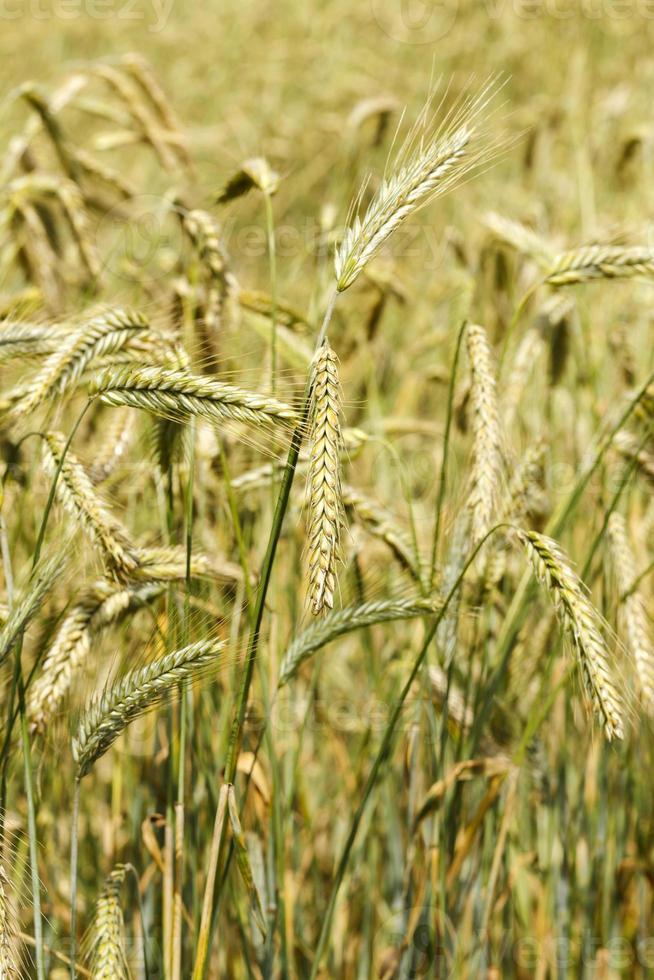 Wheat ears closeup photo