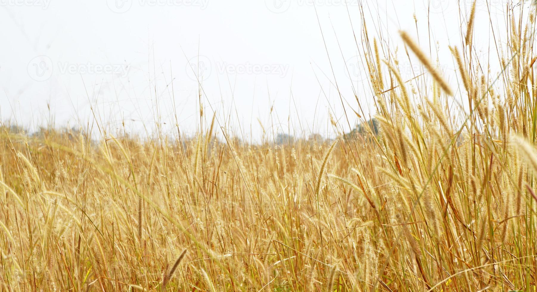 Ripe yellow ears of wheat photo