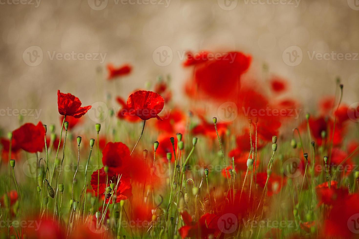Red Corn Poppy Flowers photo