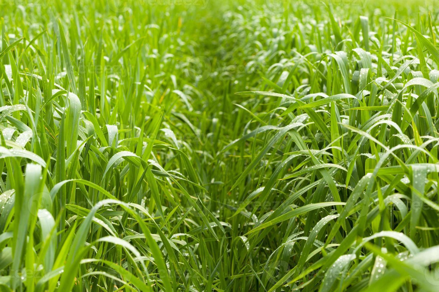 Path over corn field photo