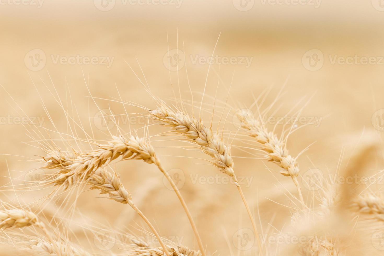 Wheat ear photo