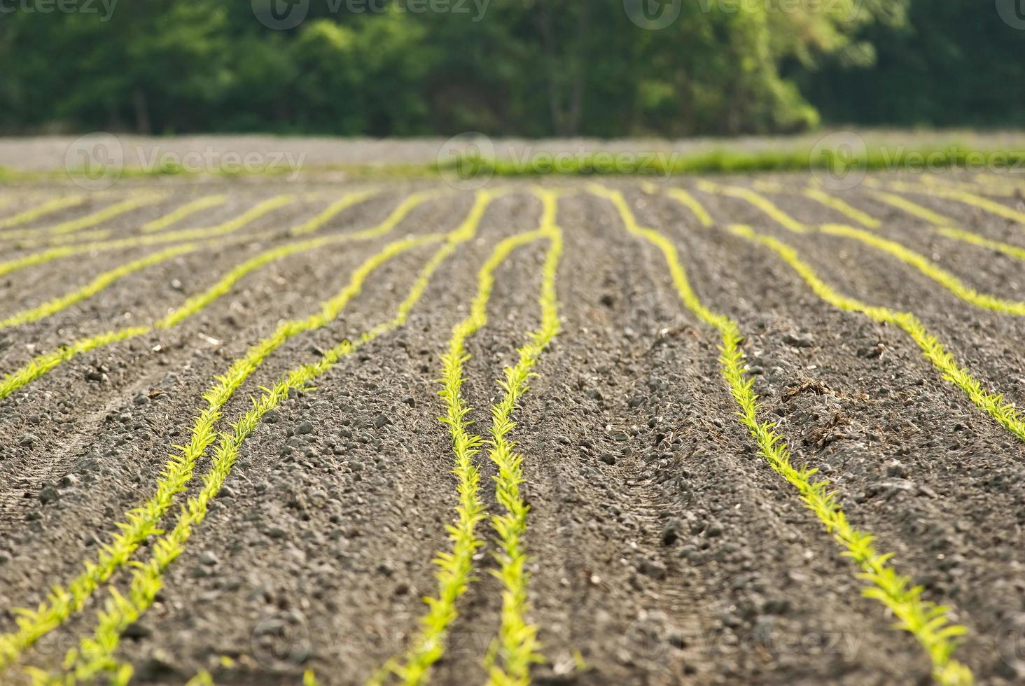 machos de maíz foto