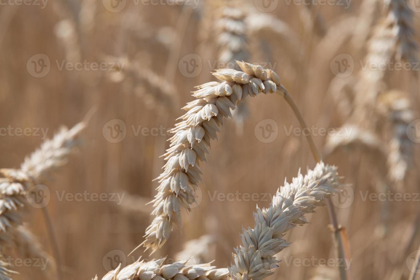 maíz de trigo foto