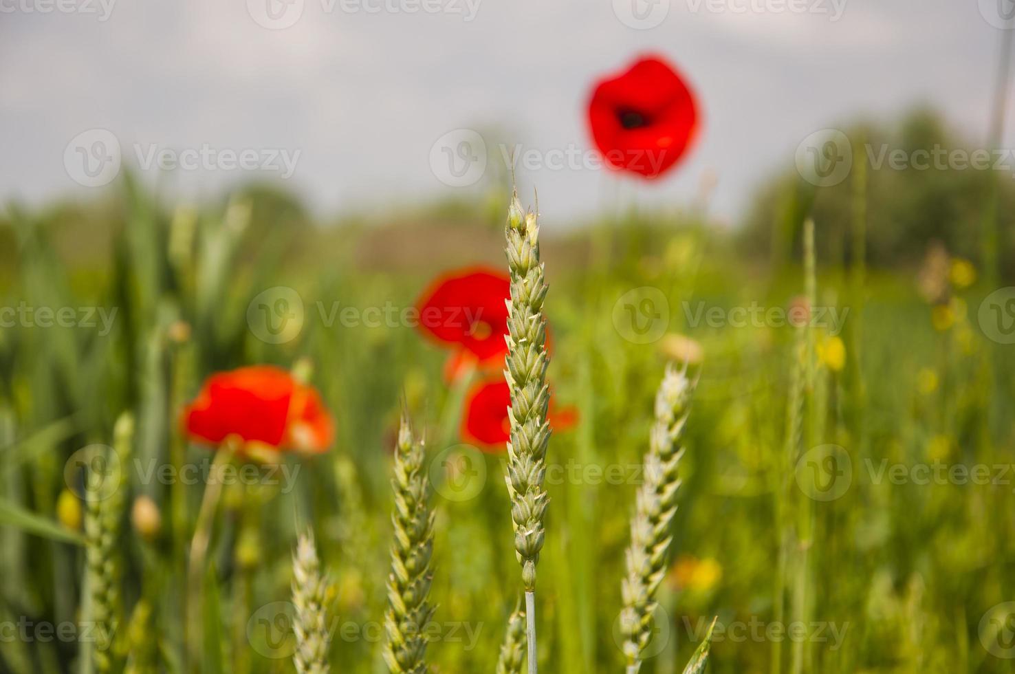 Ear Wheat (Triticum Sp.) photo