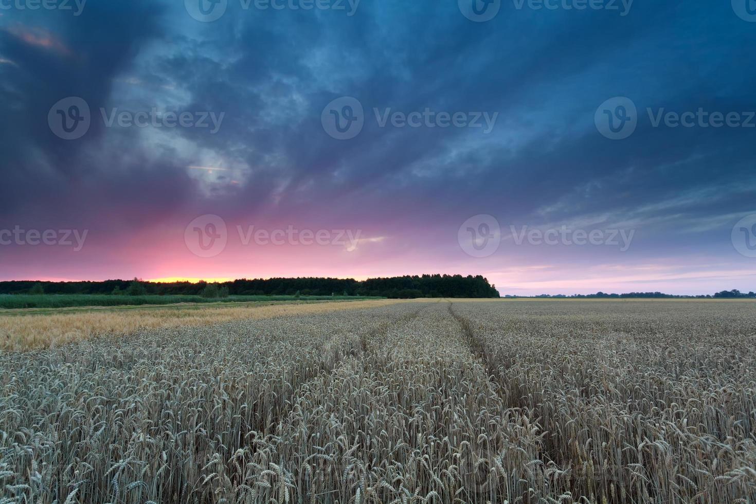 puesta de sol sobre campo de trigo foto