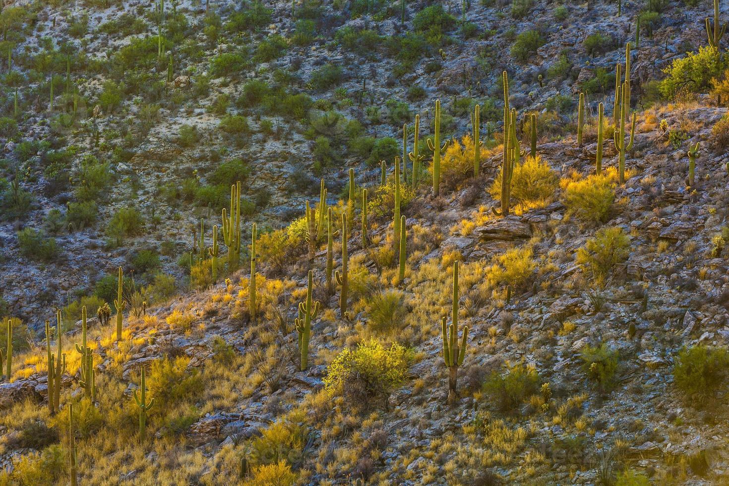 puesta de sol con hermosos cactus verdes en el paisaje foto
