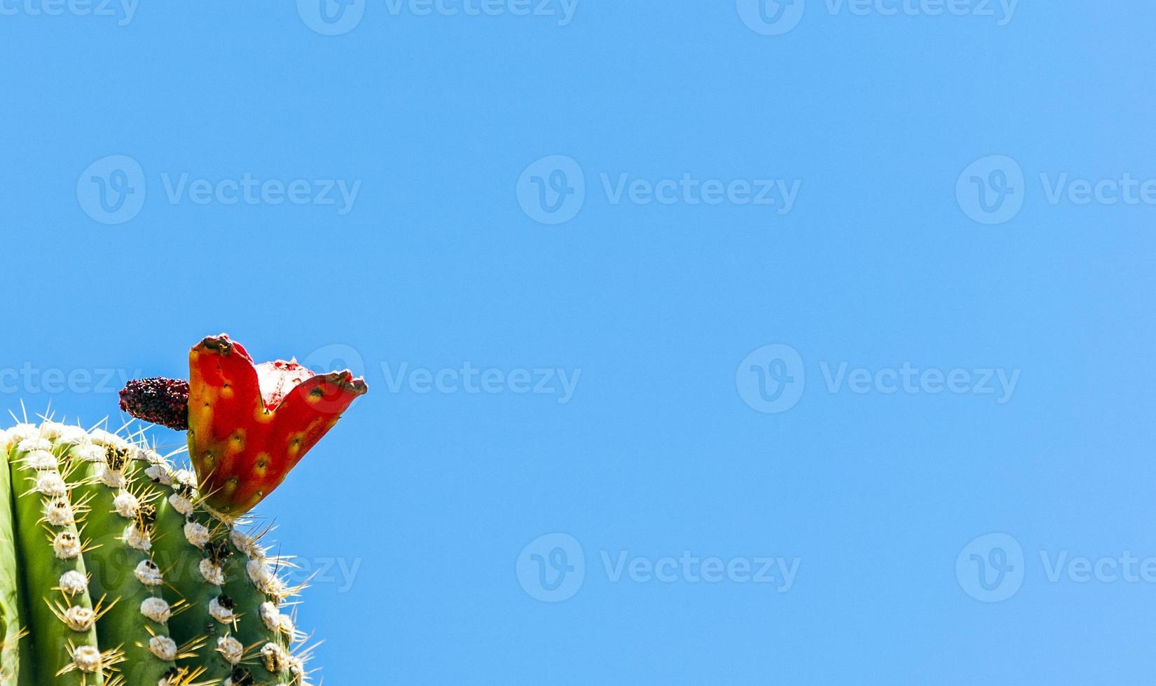 Blooming cactus en detalle en el desierto con cielo azul foto