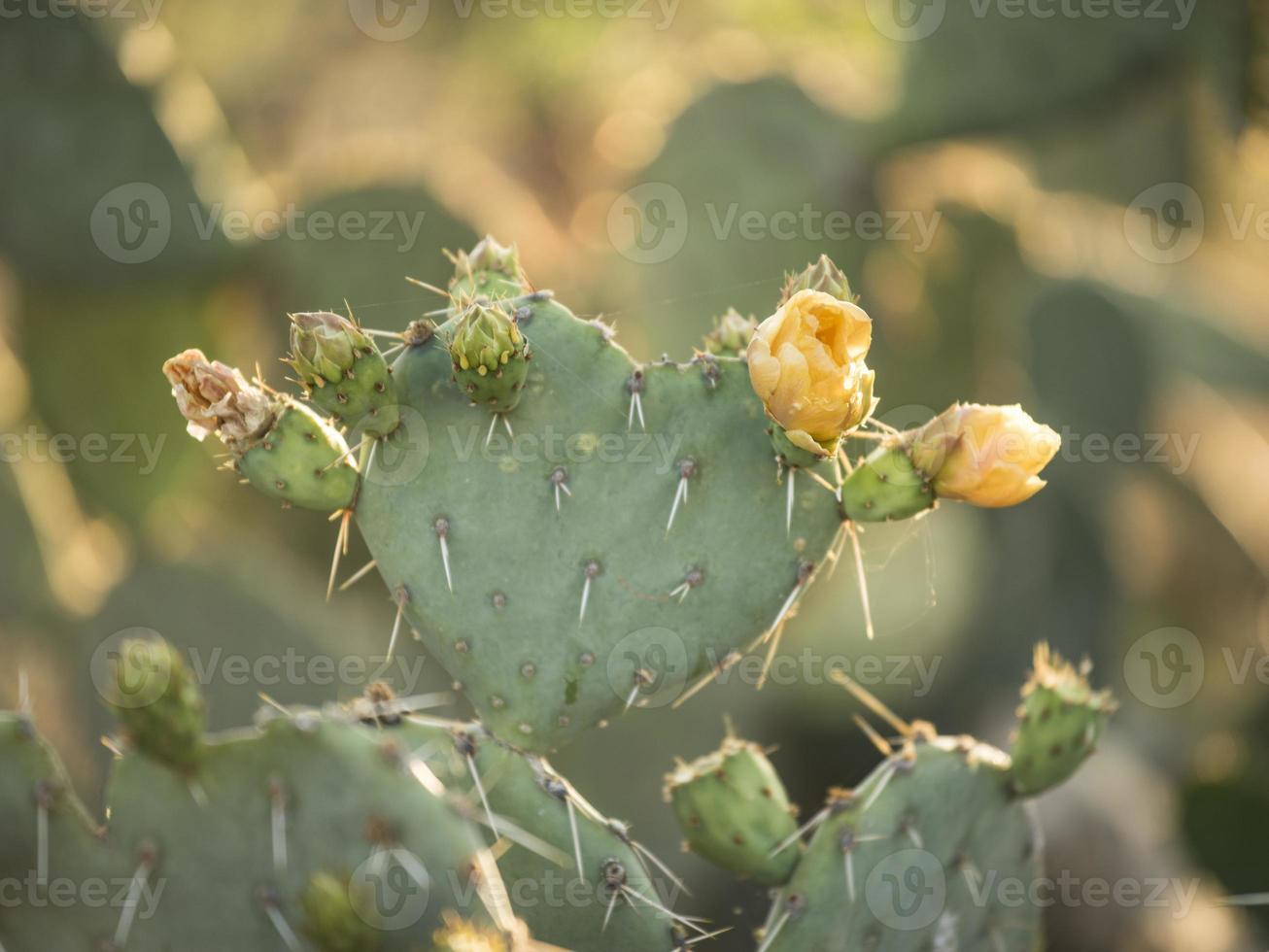 Yellow Cactus Blooming photo