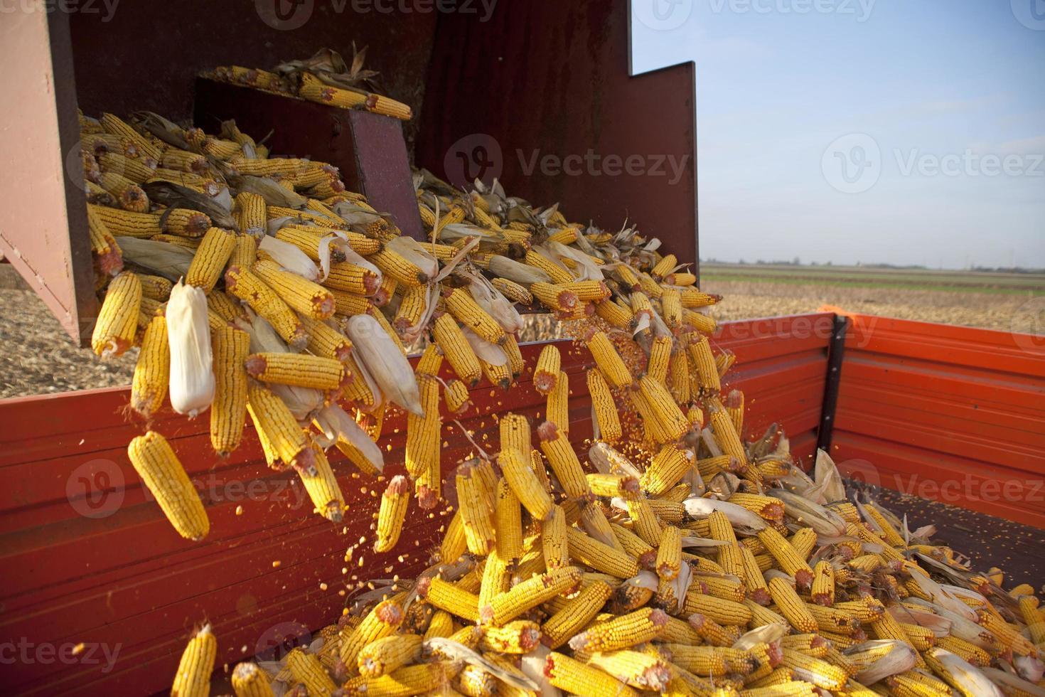 Dumping the corn cobs photo
