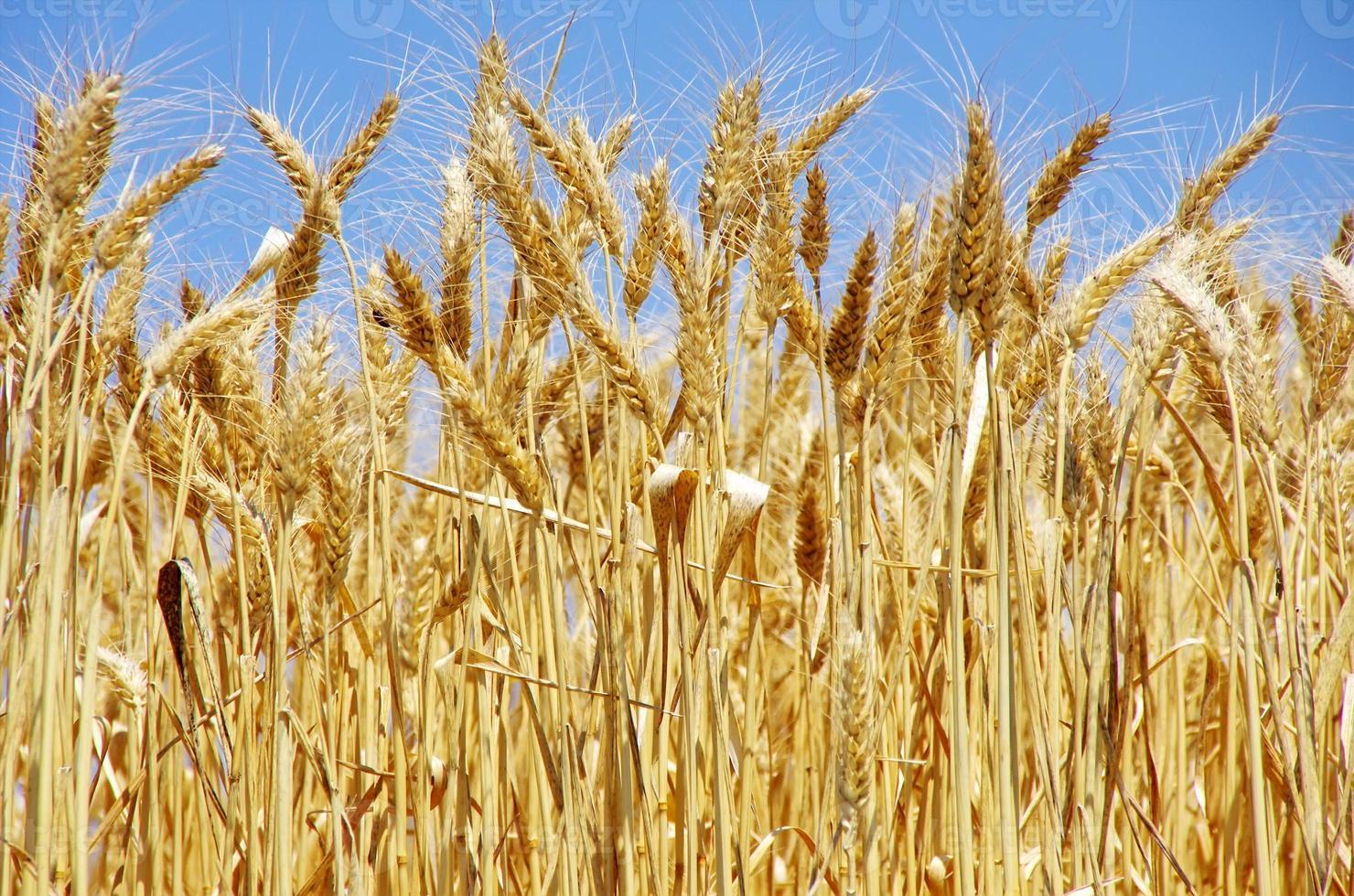Ripe spikes of wheat photo