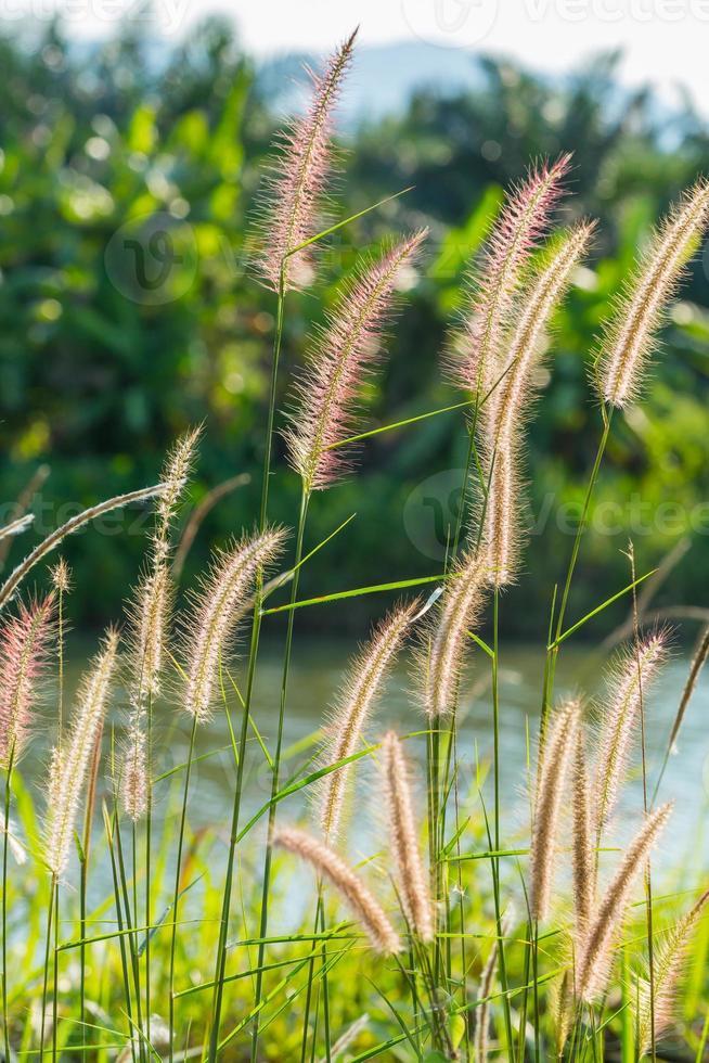 Fountain grass photo