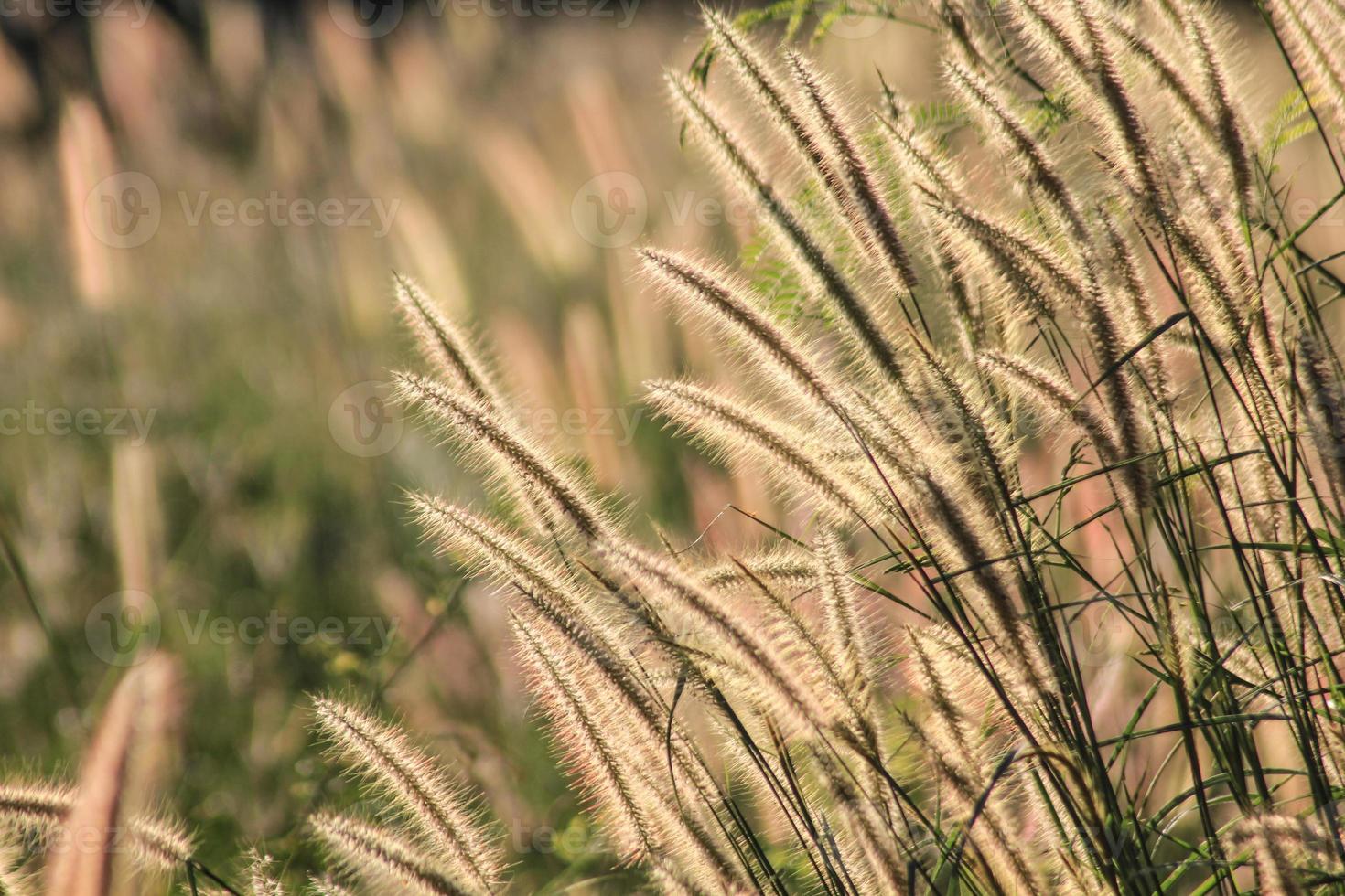 Flowering grass photo