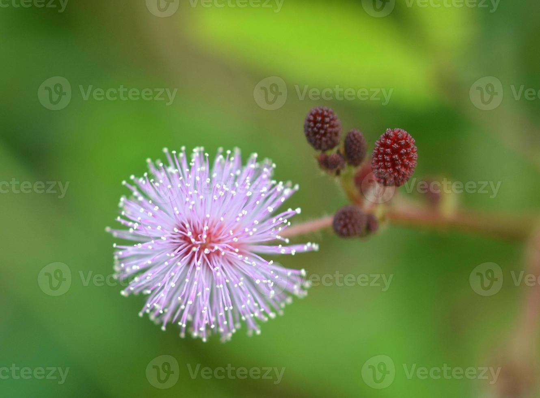 hierba floreciente foto