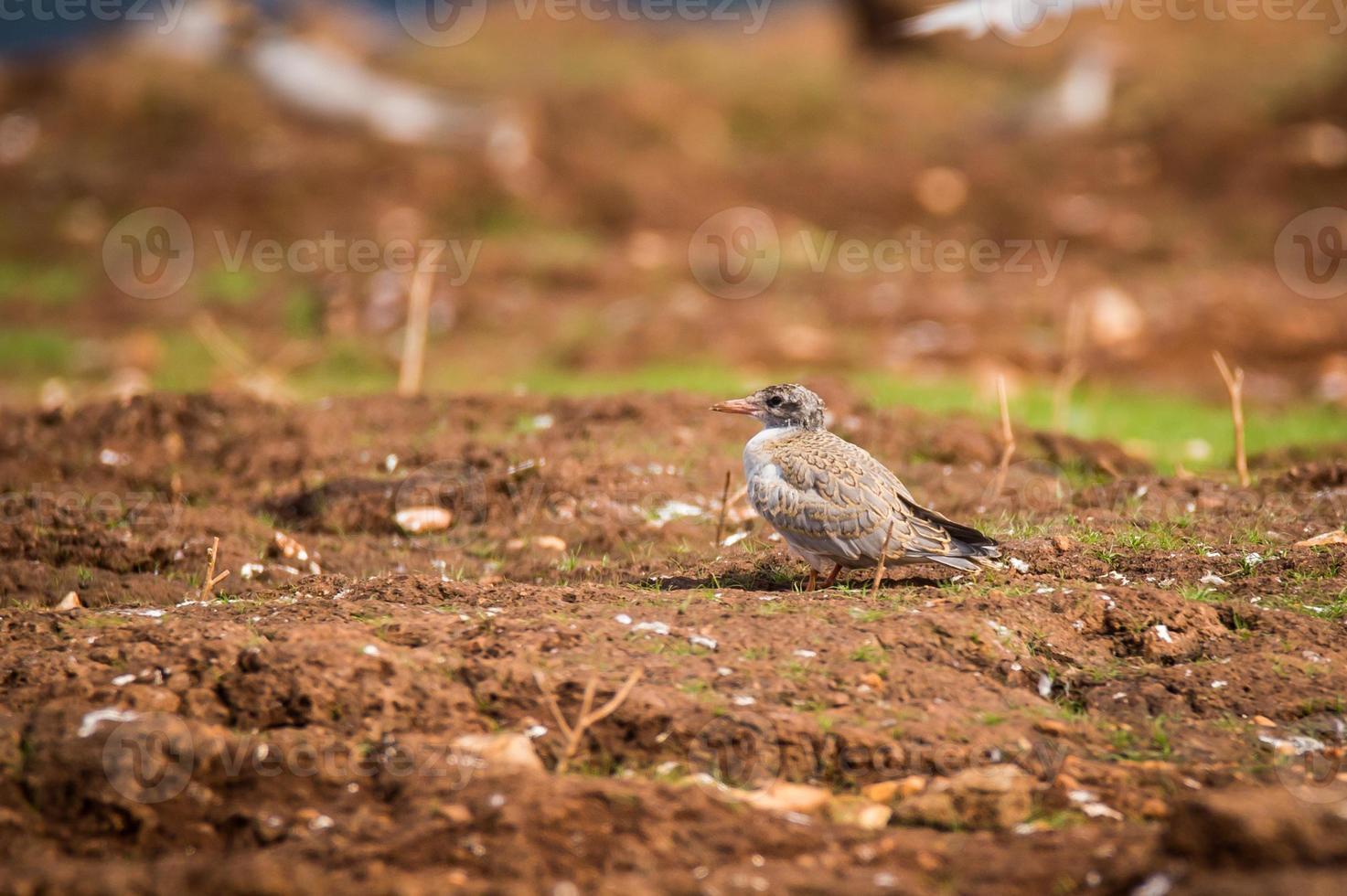 polluelo de golondrina de río foto