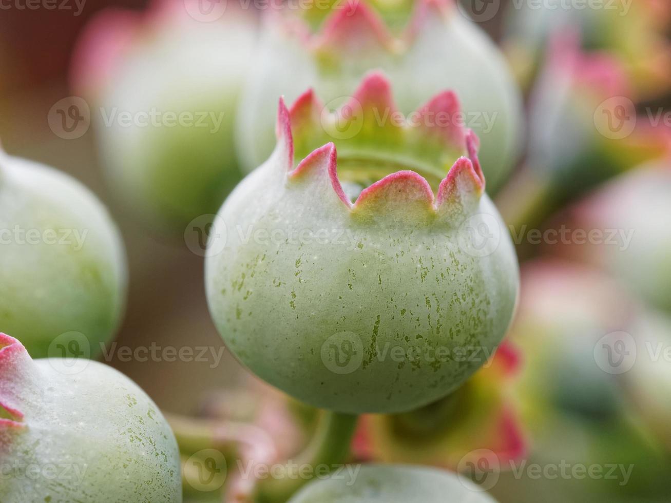 macro de arándanos verdes en la naturaleza foto